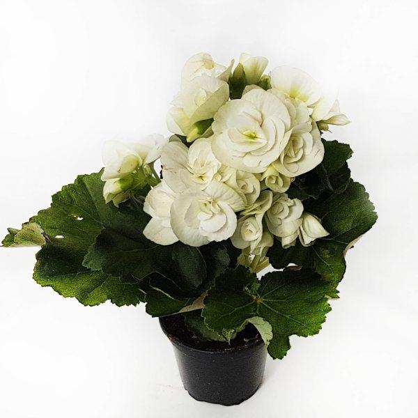 Begonia Borias