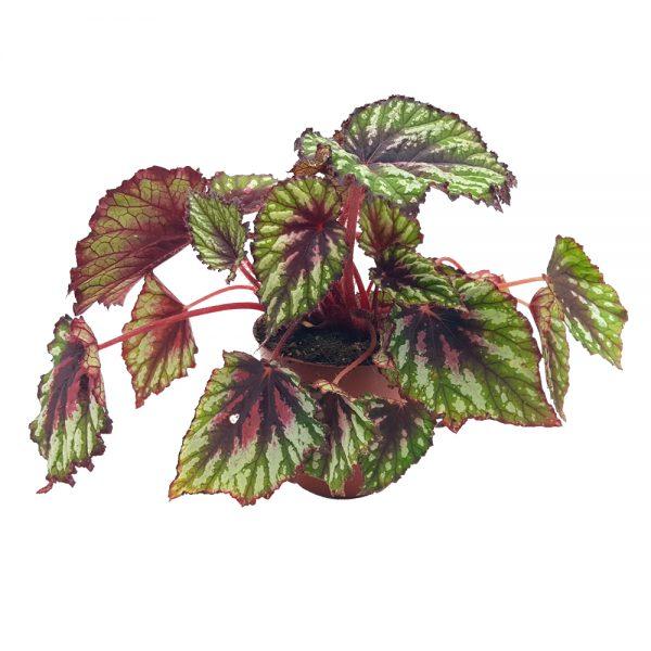 Begonia Rex medie