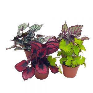 Begonia rex mica