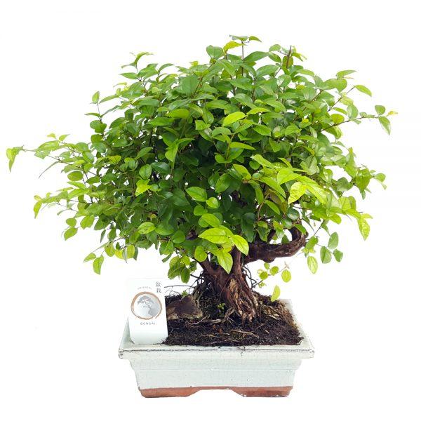 Bonsai ghiveci 20 cm