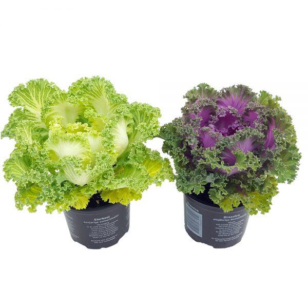 Brassica Creata - Varza ornamentala