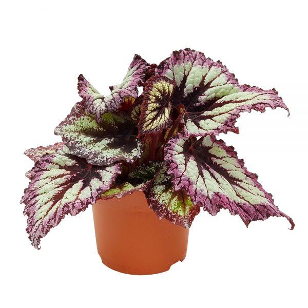 Begonia Rex mare