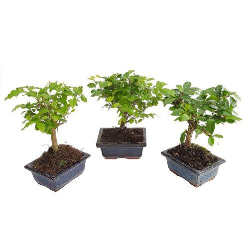 Bonsai ghiveci 11-13 cm Floraria Trias