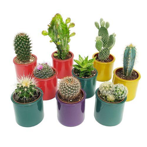 Cactus mixt in sticla