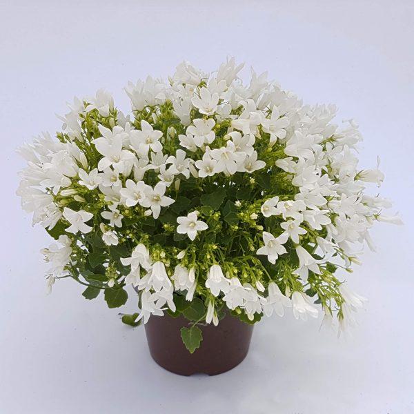 Campanula - floarea clopotel