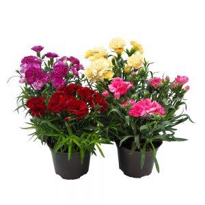 Garofite - Carnation extra