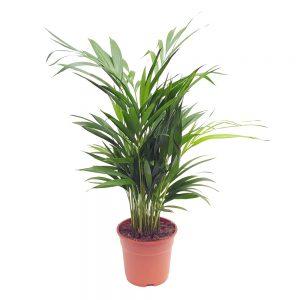 Chrysalidocarpus Areca