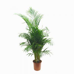 Chrysalidocarpus - Areca d24