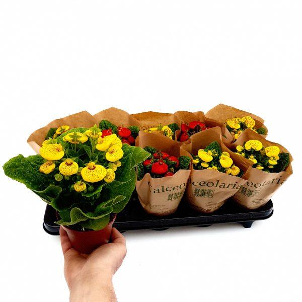 Calceolaria - Condurul doamnei