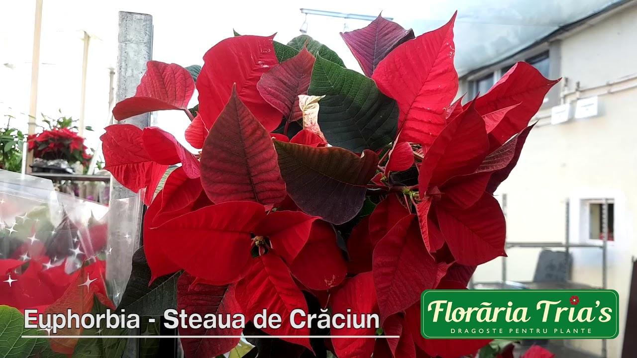 Cum se ingrijeste Craciunita Euphorbia?