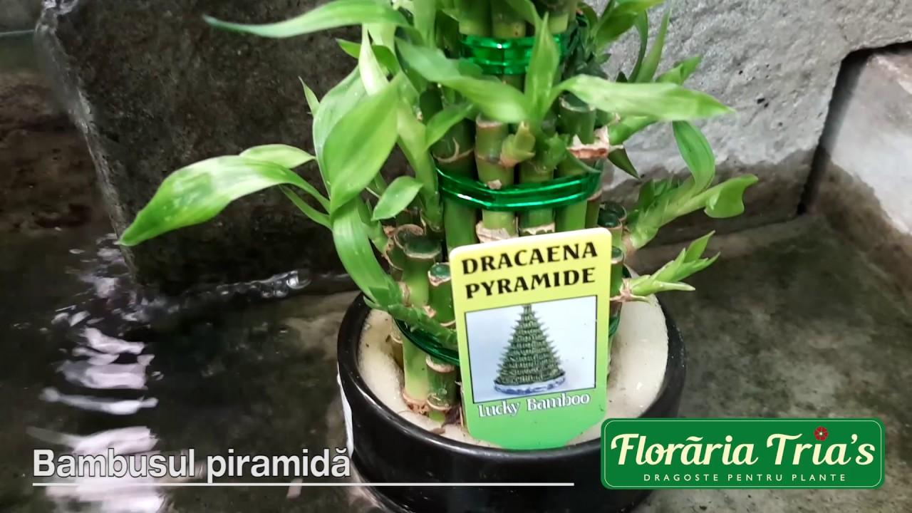 Sfaturi de la floraria Trias:Bambusul norocos