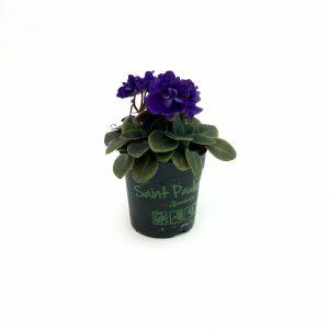 Violeta de Parma mini