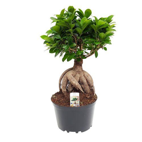 Bonsai ficus - Ginseng D20