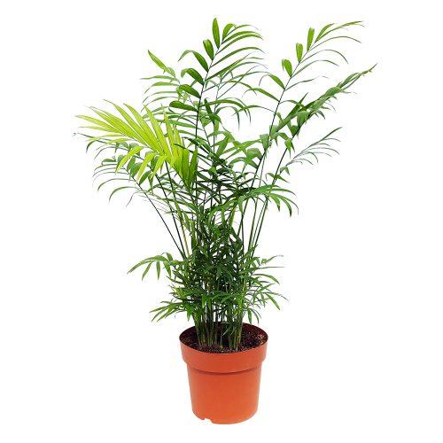 Chamaedorea extra - Palmierul pitic