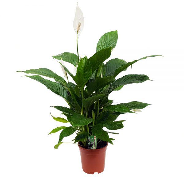 Spathiphyllum Verdi