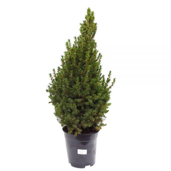 Picea glauca Conica extra