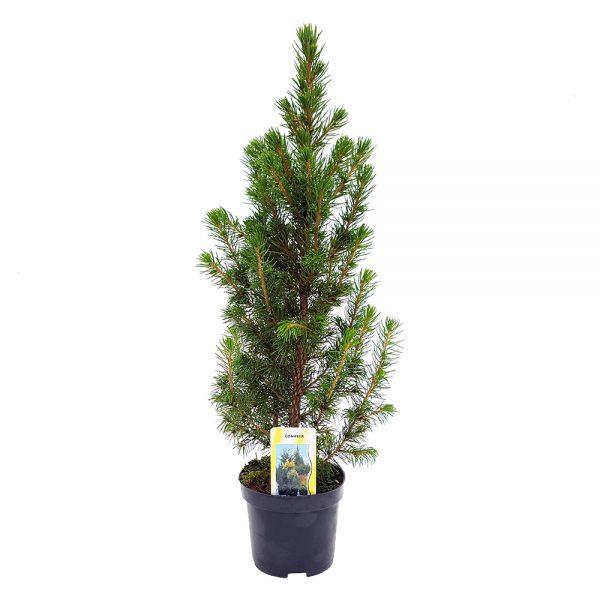 Picea glauca Conica mic