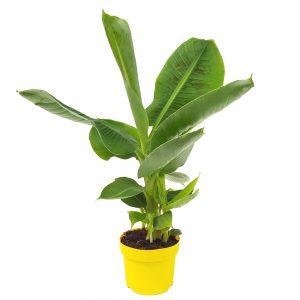 Banan - Musa Tropicana