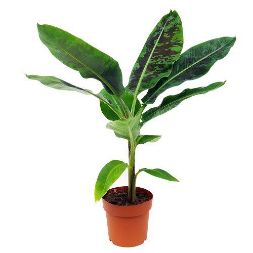 Banan - Musa tropicana extra