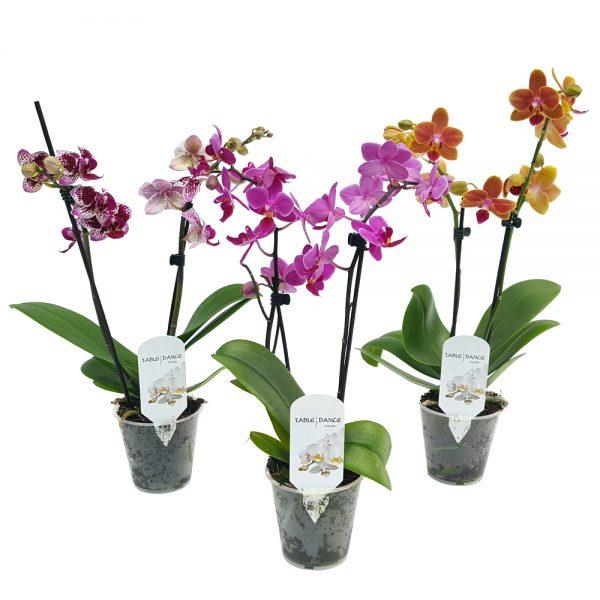 Phalaenopsis - Orhidee mica