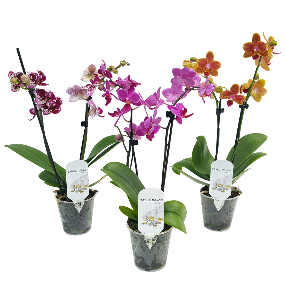 Phalaenopsis Orhidee Mica Florăria Tria S
