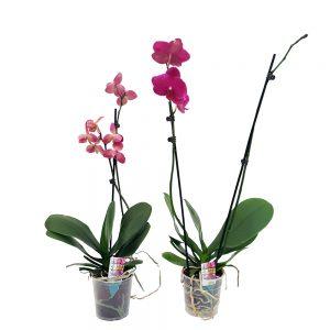 Phalaenopsis Orhidee