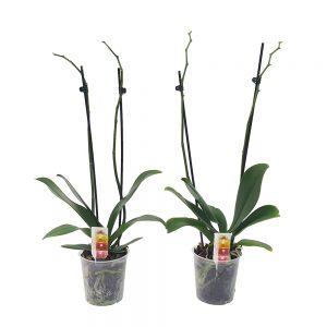Phalaenopsis orhidee oferta