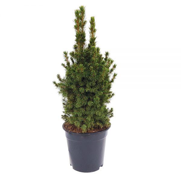 Picea glauca conica mare