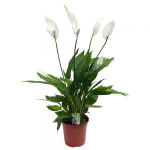 Spathiphyllum Extra Sweet