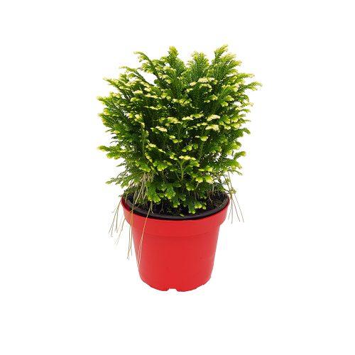 Selaginela Jory extra - Floraria Trias