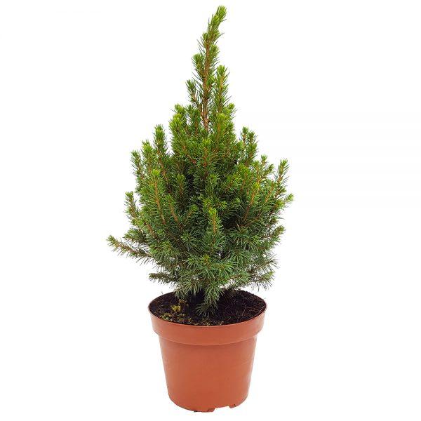 Picea glauca Conica mediu