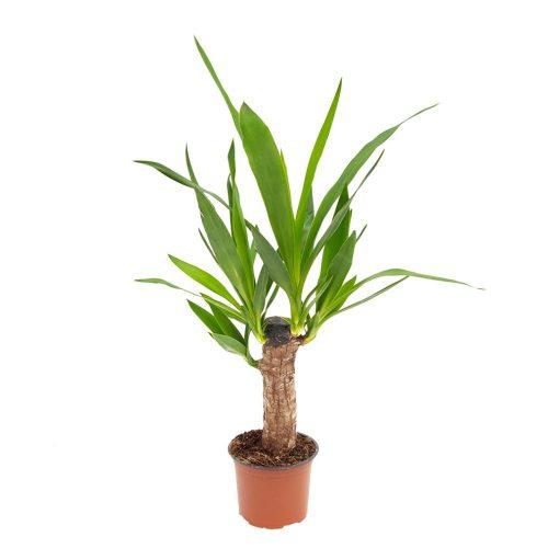 Yucca 1 tulpina