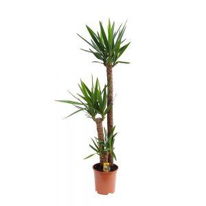 Yucca-3-Tulpini-Extra