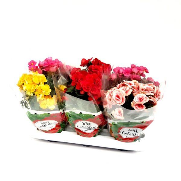 Begonia Elatior Extra
