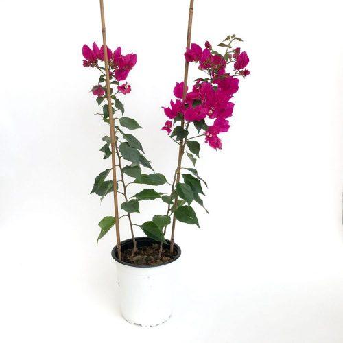 Bougainvillea cu 2 plante