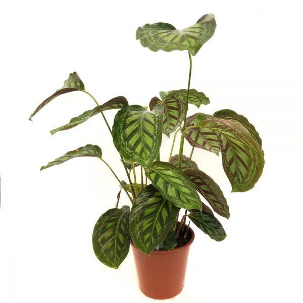 Calathea premium