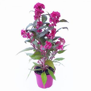 Celosia Hot Topic