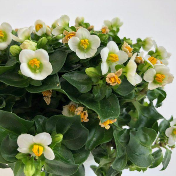 exacum mini alb floare