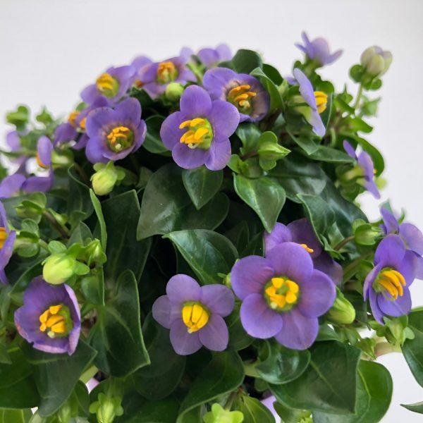 exacum mini mov floare