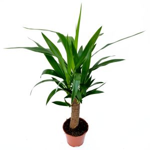 Yucca 1 Tulpina medie