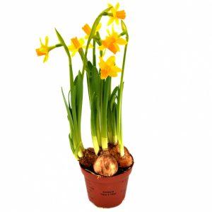 Narcise bulbi Floraria Trias