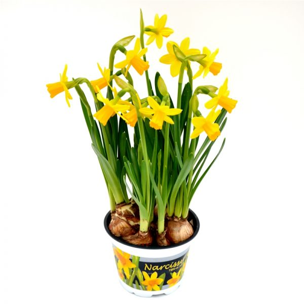 Narcise extra Floraria Trias