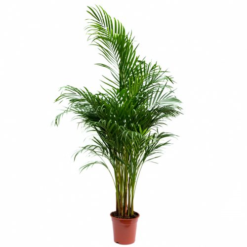 Chrysalidocarpus - Palmier Areca 1.6 m