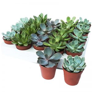 Mini suculente - mix echeveria