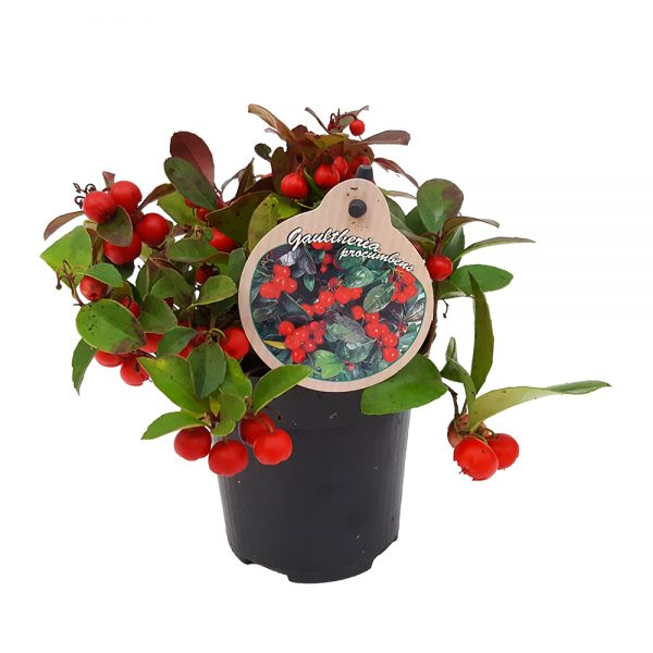 Gaultheria mare
