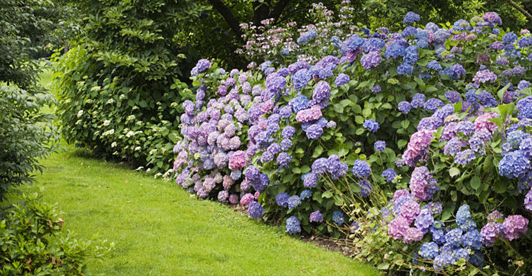 hortensii pentru gradina