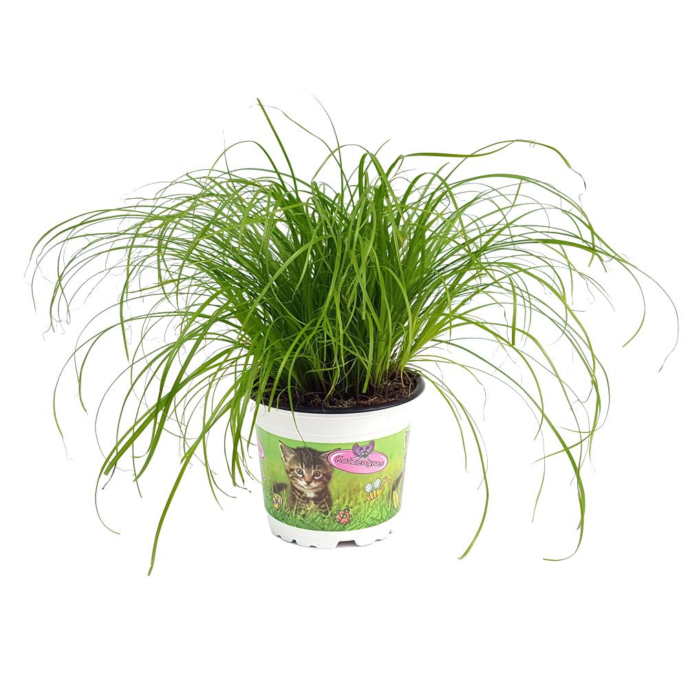 cea mai bună iarbă din varicoză