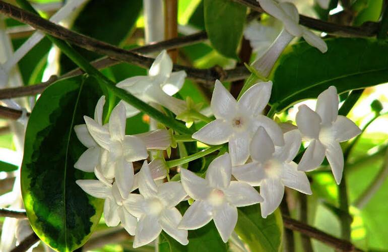 Iasomia de Madagascar