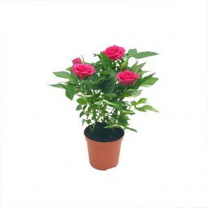 Trandafiri - rosa mini