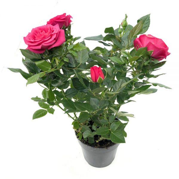 Trandafiri - rosa amorosa